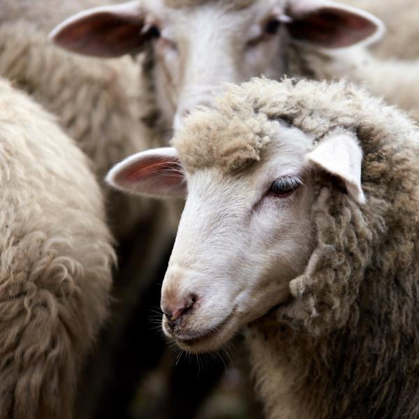 tondeuse pour mouton